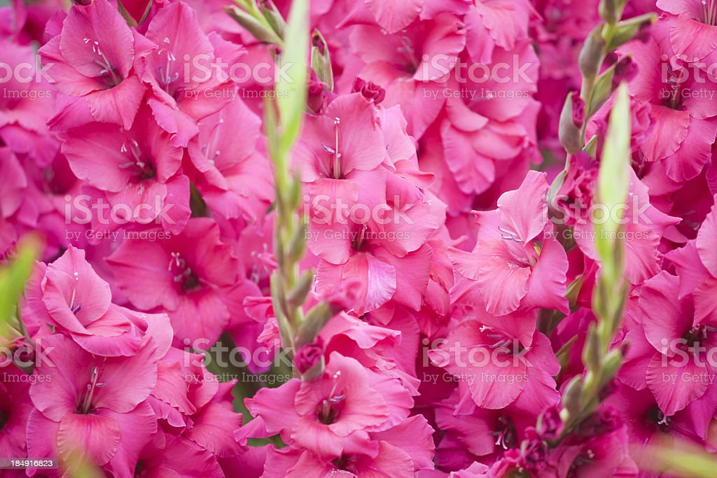 Gladiolus Kashmir stock photo