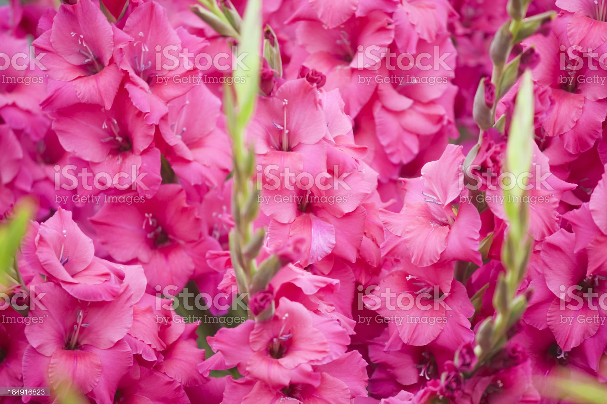 Gladiolus Kashmir royalty-free stock photo