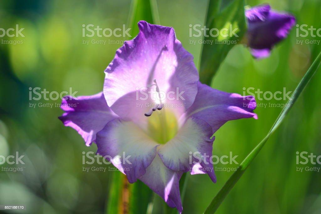 Gladiolus lilac stock photo