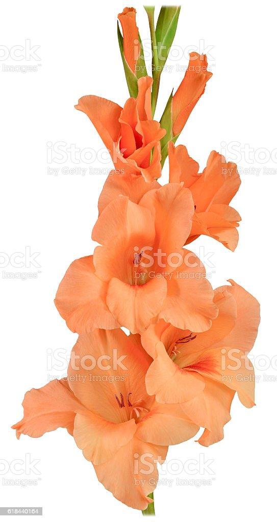 gladiolus orange 2 stock photo