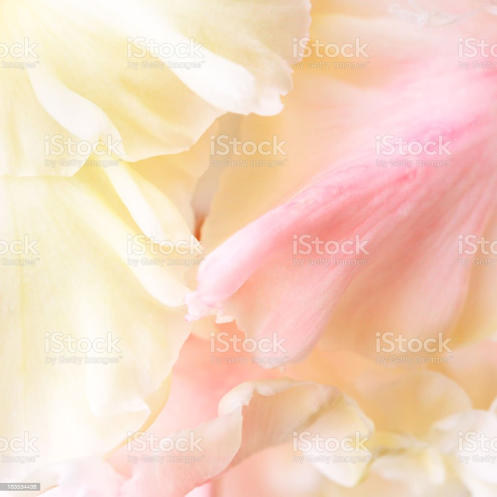 Gladiolus petals silk-like royalty-free stock photo