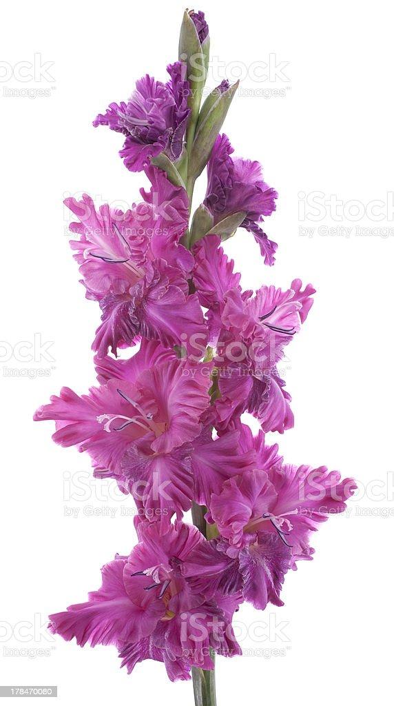 gladiolus royalty-free stock photo
