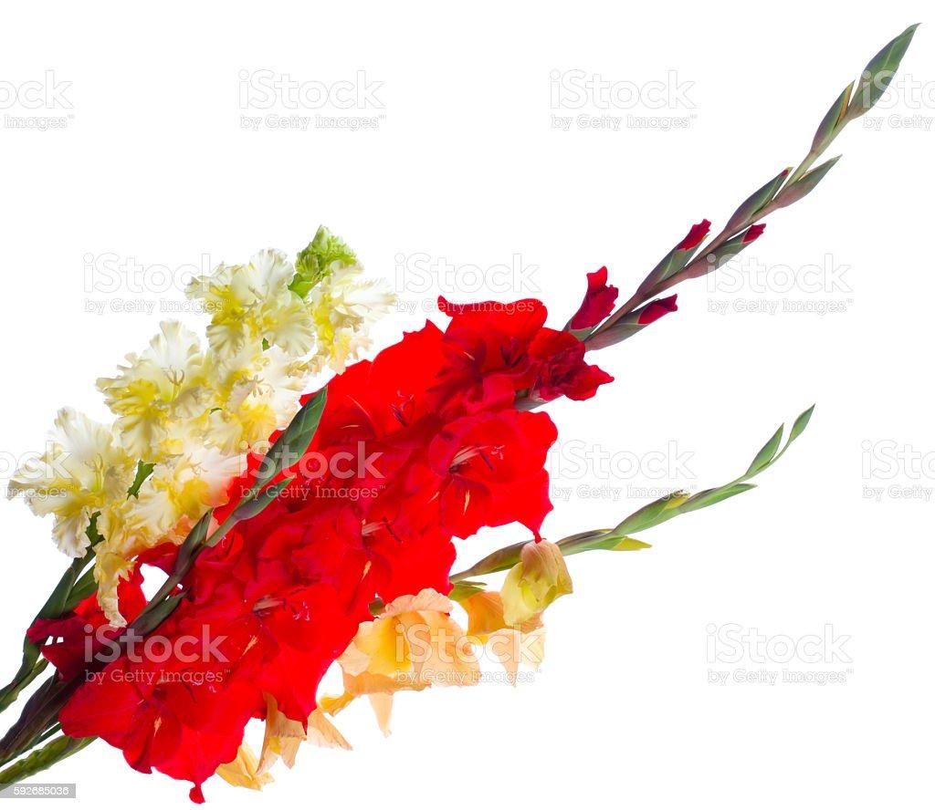 Gladiolus stock photo