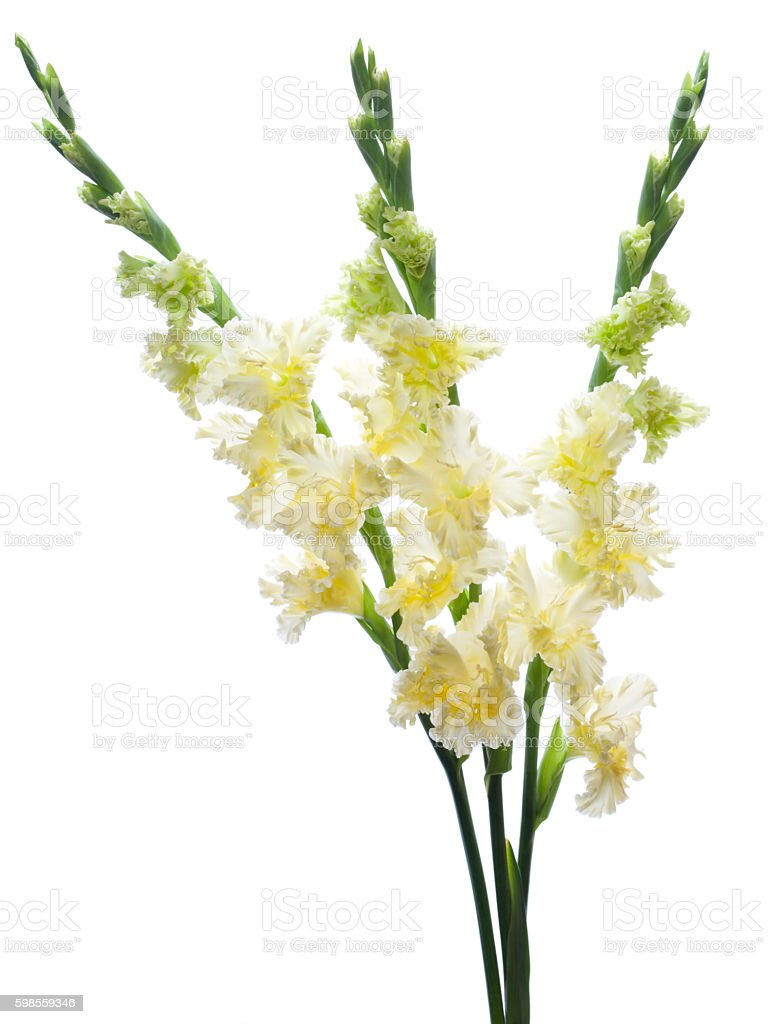 Gladiolus stock photo