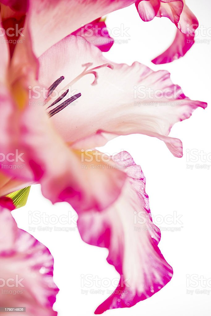 gladiolus pink on white royalty-free stock photo