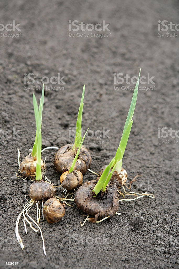 Gladiolus sprouts royalty-free stock photo