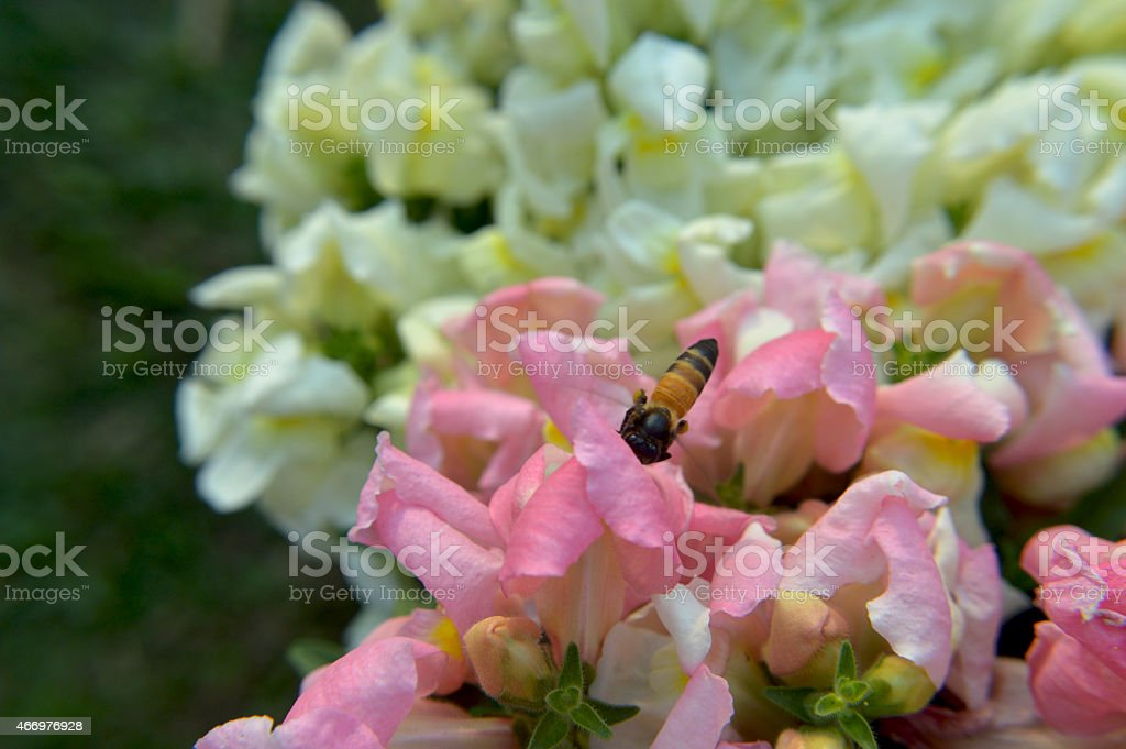 Gladiolus with bee stock photo