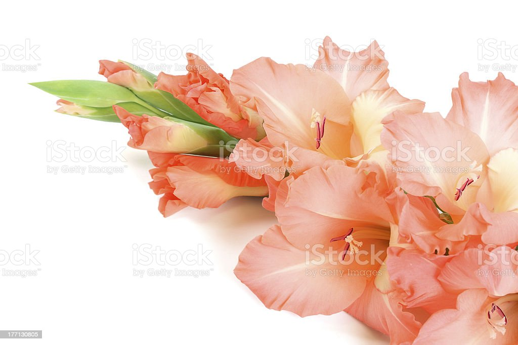 Gladioluses royalty-free stock photo