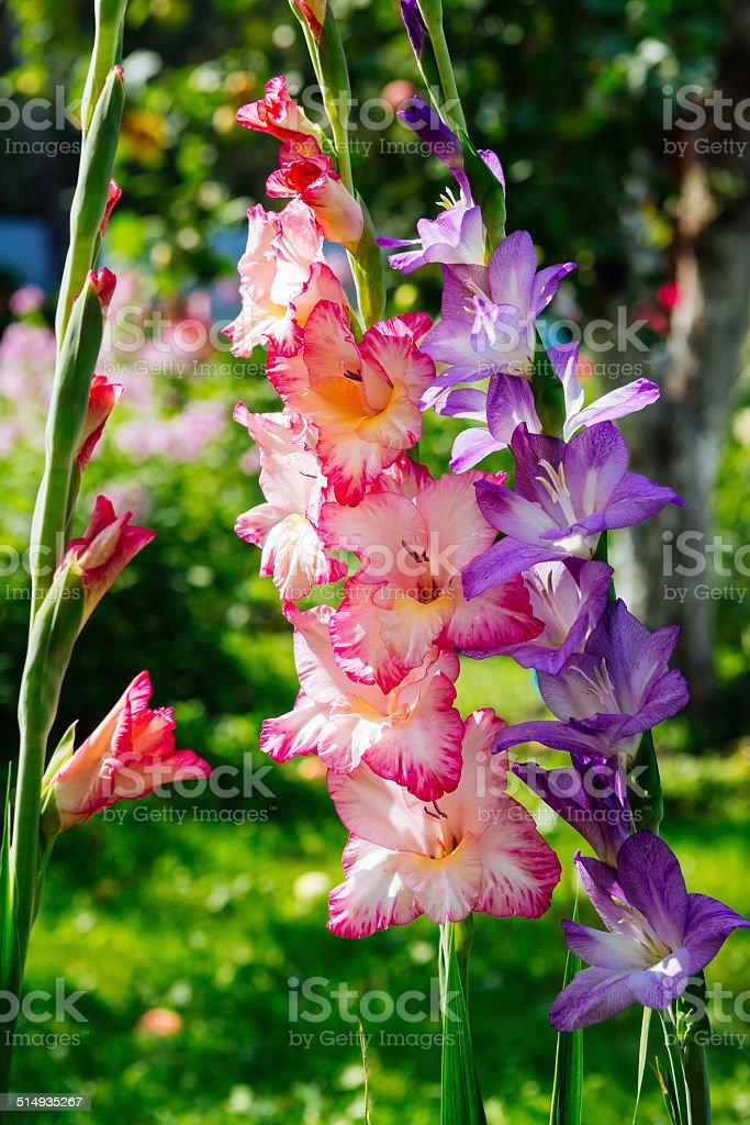 Gladioluses stock photo
