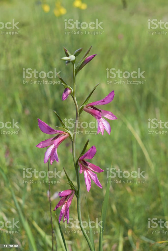 Gladioulus palustris stock photo
