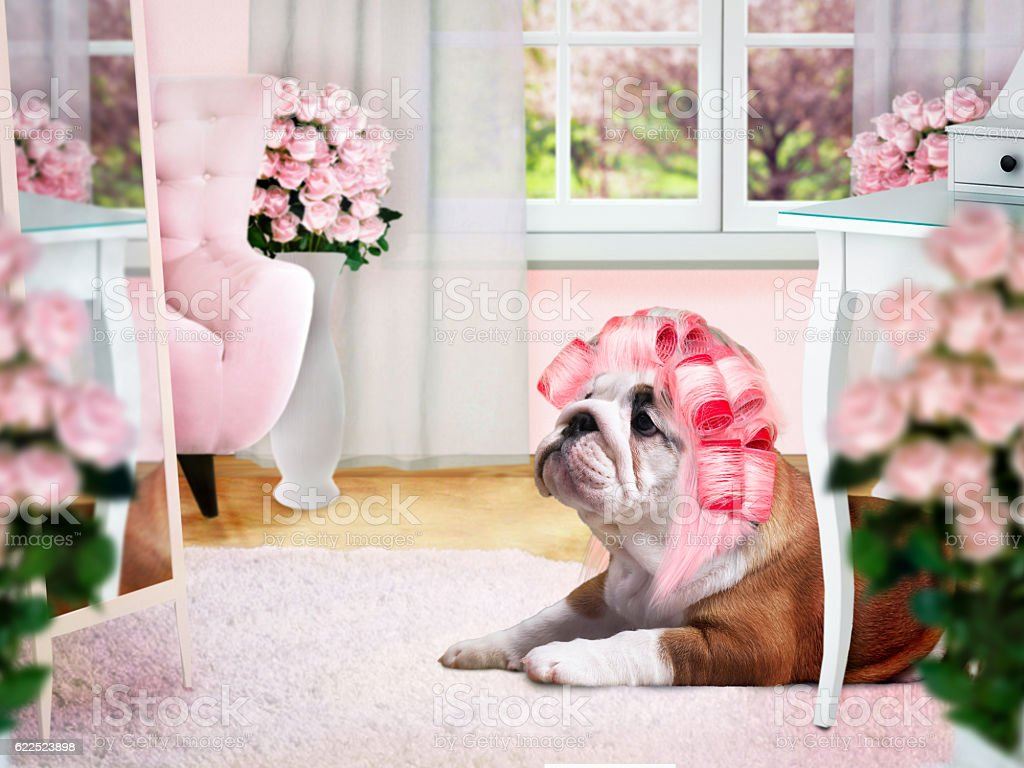 Glamour Dog in pink curlers in the ladies room stock photo