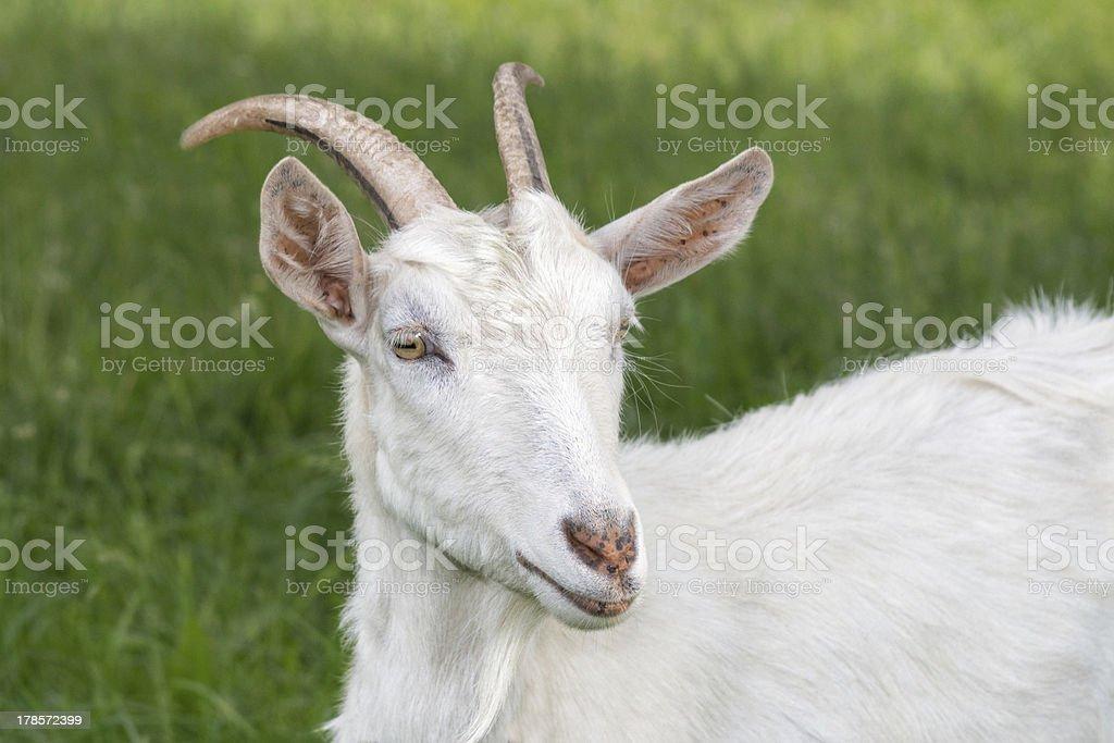 Glamourous she-goat royalty-free stock photo