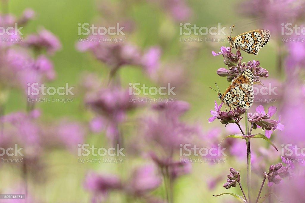 Glanville Fritillary (Melitaea cinxia) stock photo