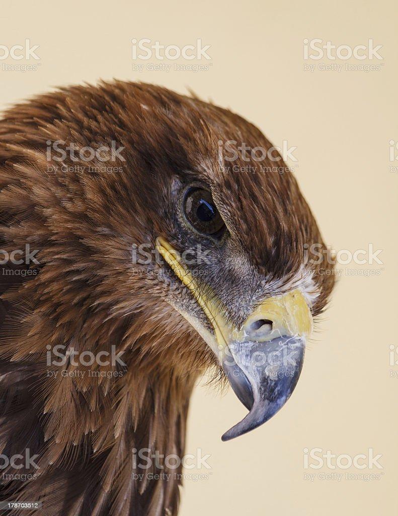Glare of the Harris Hawk stock photo