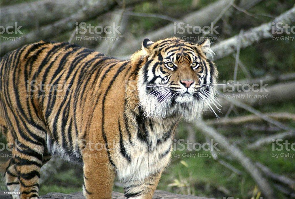 Glaring Bengal Tiger royalty-free stock photo