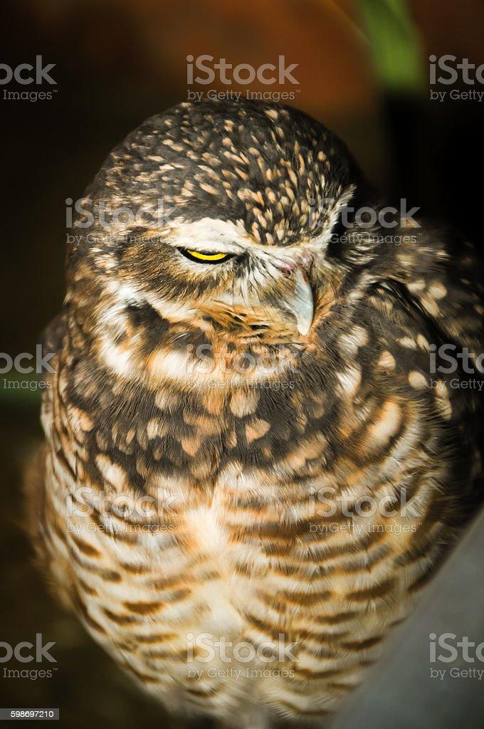 Glaring Owl stock photo