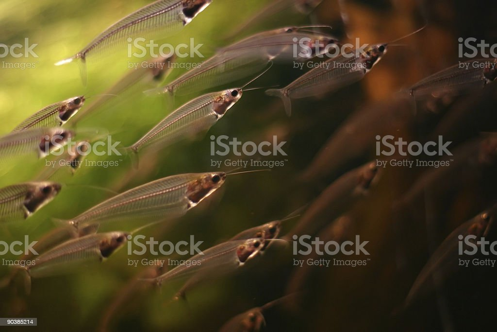 glass fish (2 of 3) royalty-free stock photo