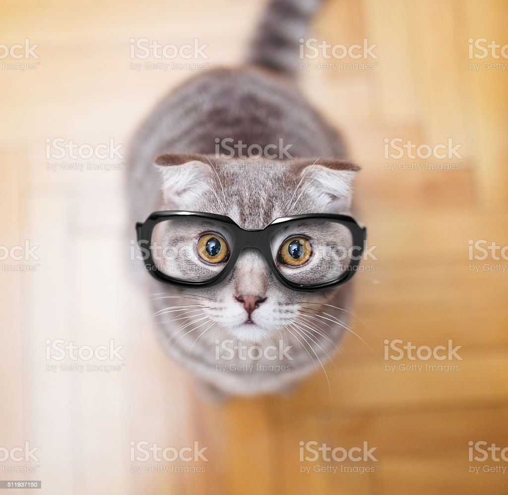 Glasses Scottish fold cat stock photo