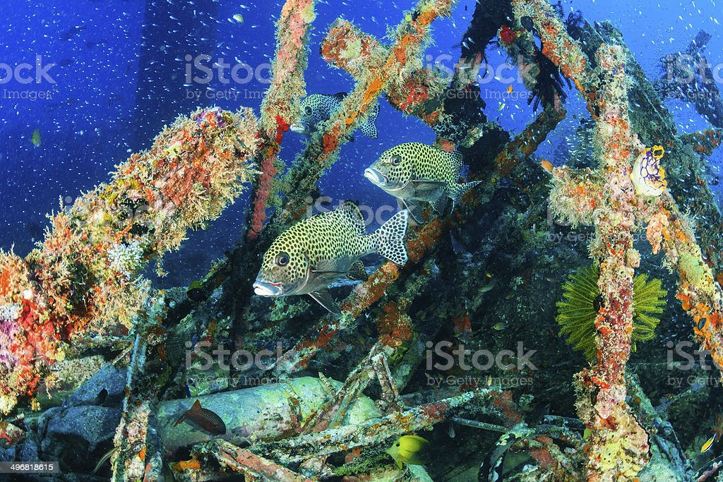 Glassfish and tropical fish around an undersea wreck stock photo