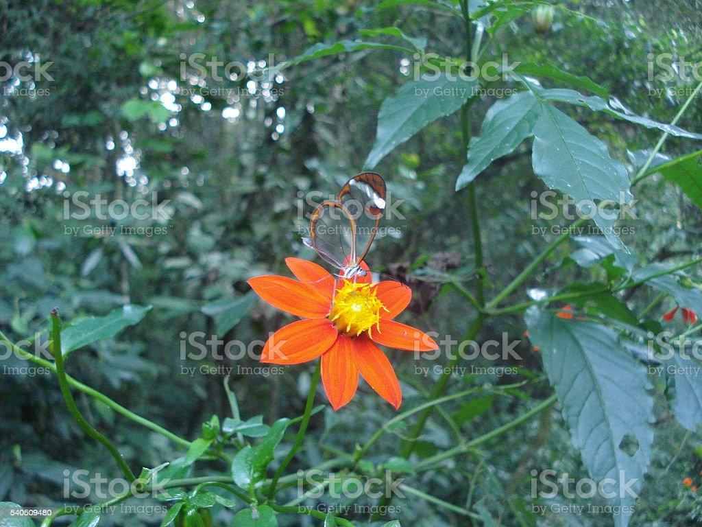 Glasswinged butterfly Greta oto on orange flower stock photo