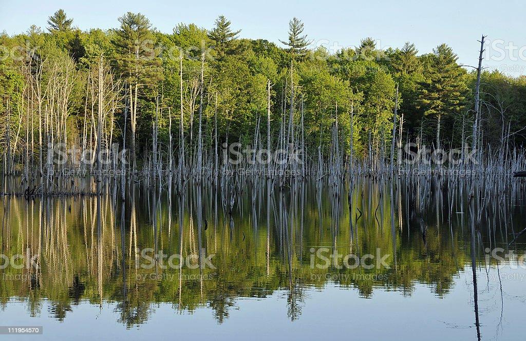 Glassy Beaver Pond royalty-free stock photo