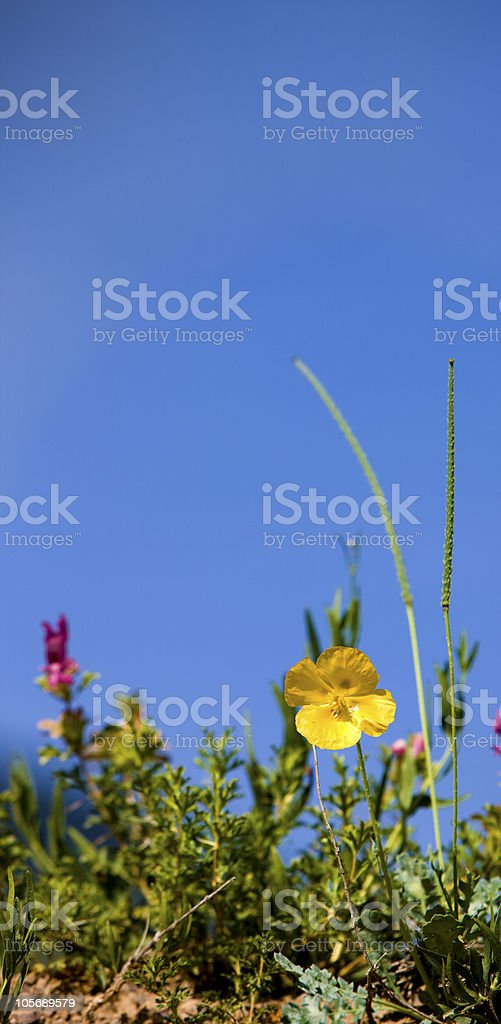 Glaucium flavum, Papaveraceae. Plateau Assy in Kazakhstan, Asia. July morning. royalty-free stock photo
