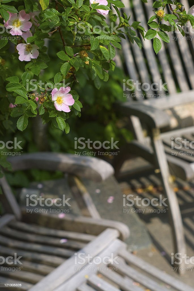 Glaucous Dog Rose over olden wooden sunchairs stock photo