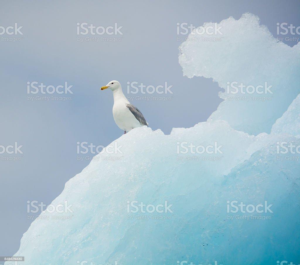 Glaucous gull on an iceberg, Columbia Glacier, Alaska stock photo