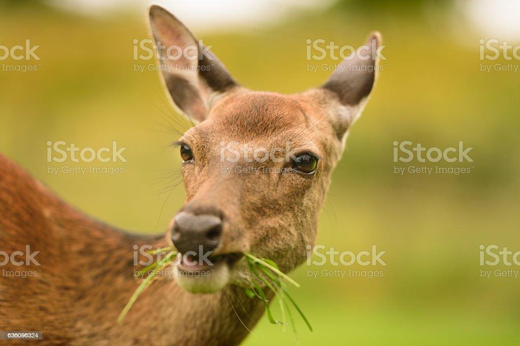Glendalough deers stock photo