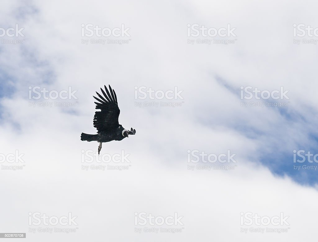 Gliding Andean Condor in Patagonia, Chile stock photo