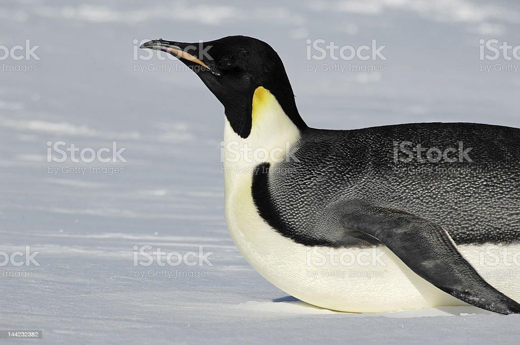 Gliding Antarctic penguin royalty-free stock photo