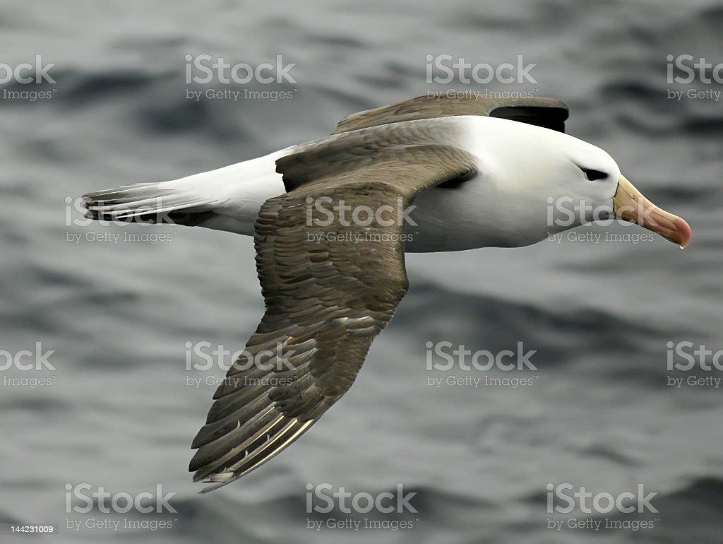 Gliding black-browed Albatross across ocean stock photo