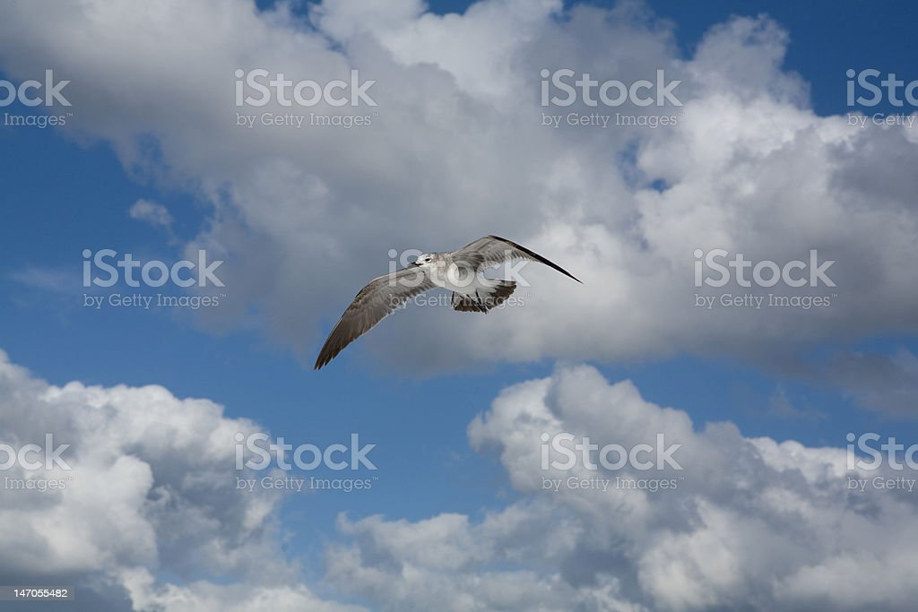 Gliding Seagull stock photo