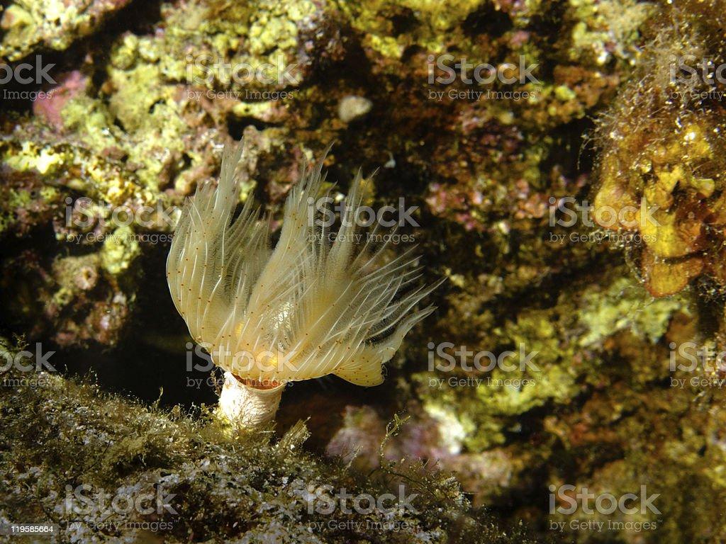 Gliederwurm (Serpulidae) stock photo