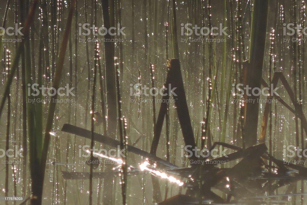 Glistening Reeds stock photo