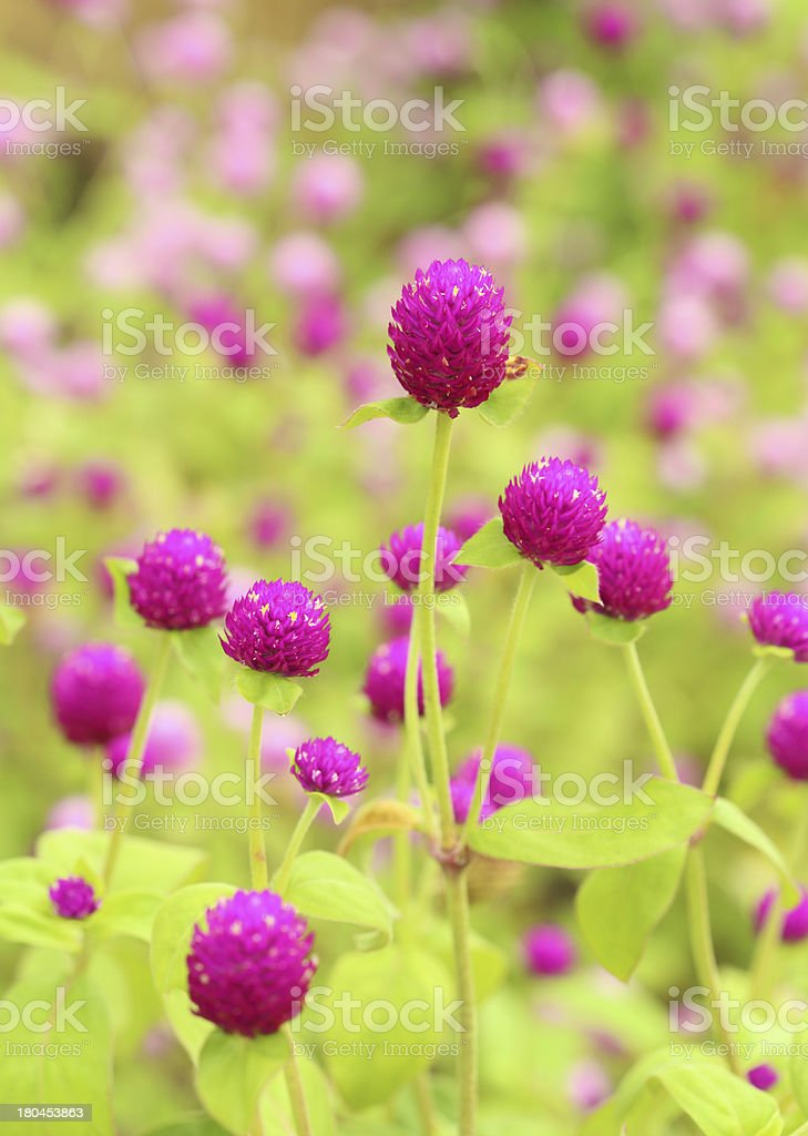 Globe amaranth or Gomphrena globosa flower royalty-free stock photo