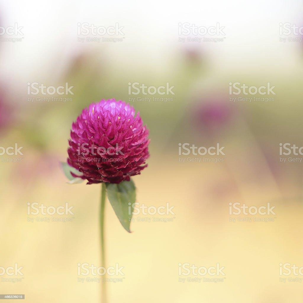 globe amaranth stock photo