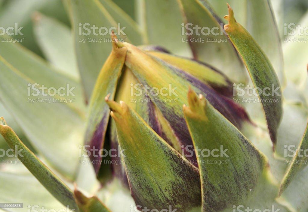 Globe artichoke royalty-free stock photo
