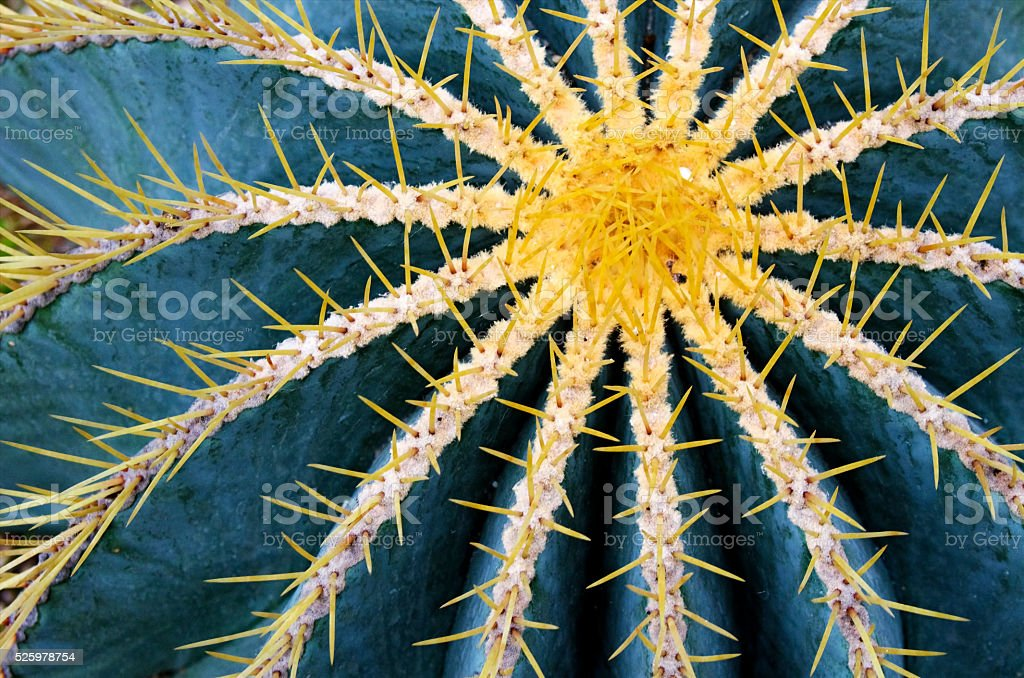 Globe cactus plant closeup royalty-free stock photo