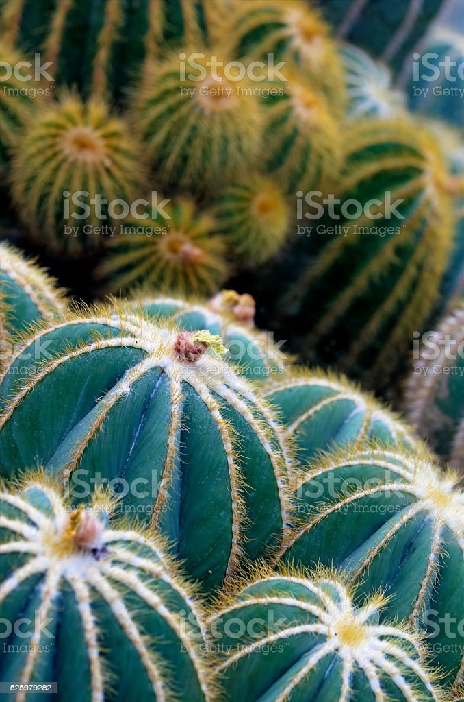 Globe cactus plants closeup royalty-free stock photo