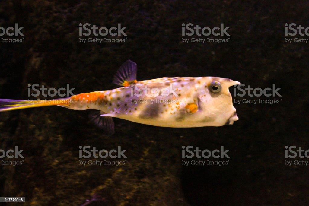 globe puffer fish swimming in the aquarium stock photo