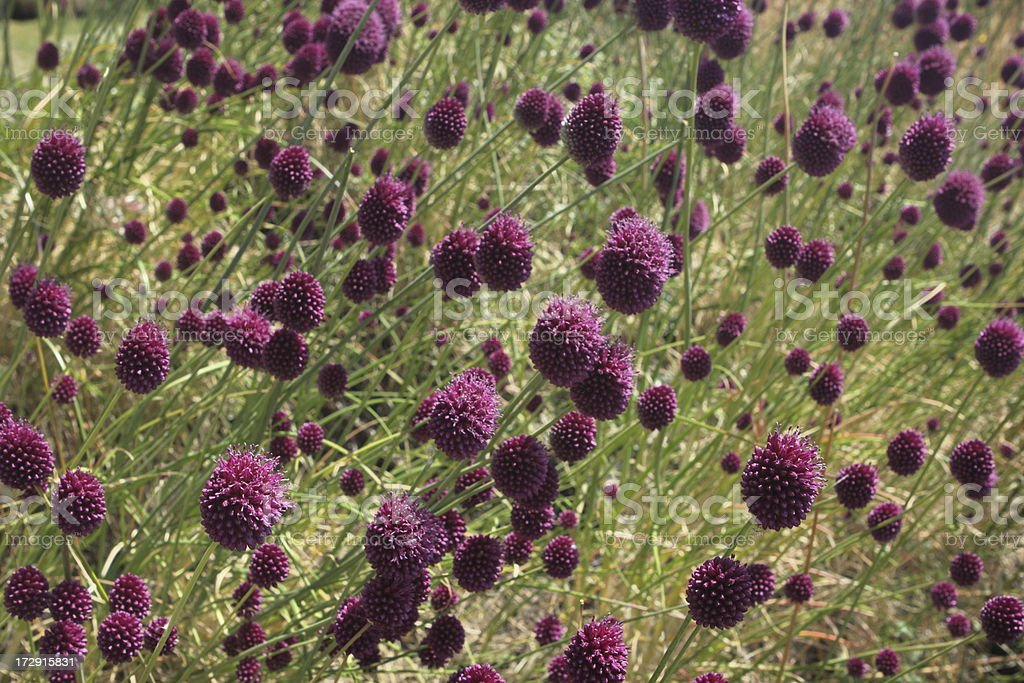 Globe Thistle Echinops ritro Flower Meadow stock photo