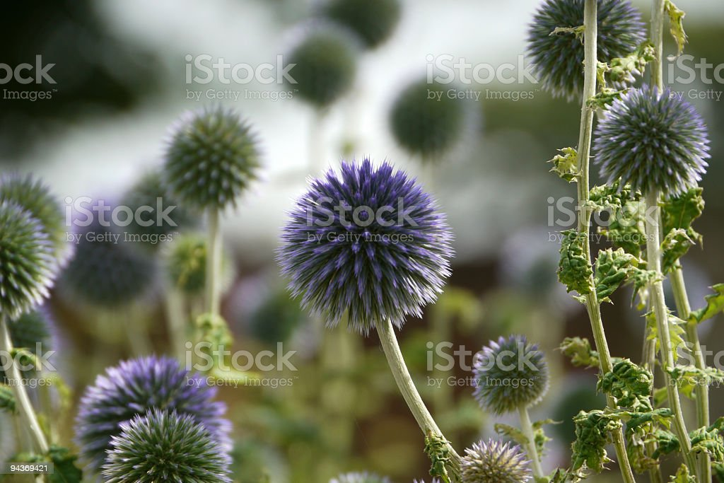 Globe Thistle - Echinops ritro stock photo