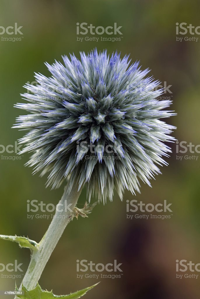 Globe Thistle (Echinops ritro) flower head stock photo