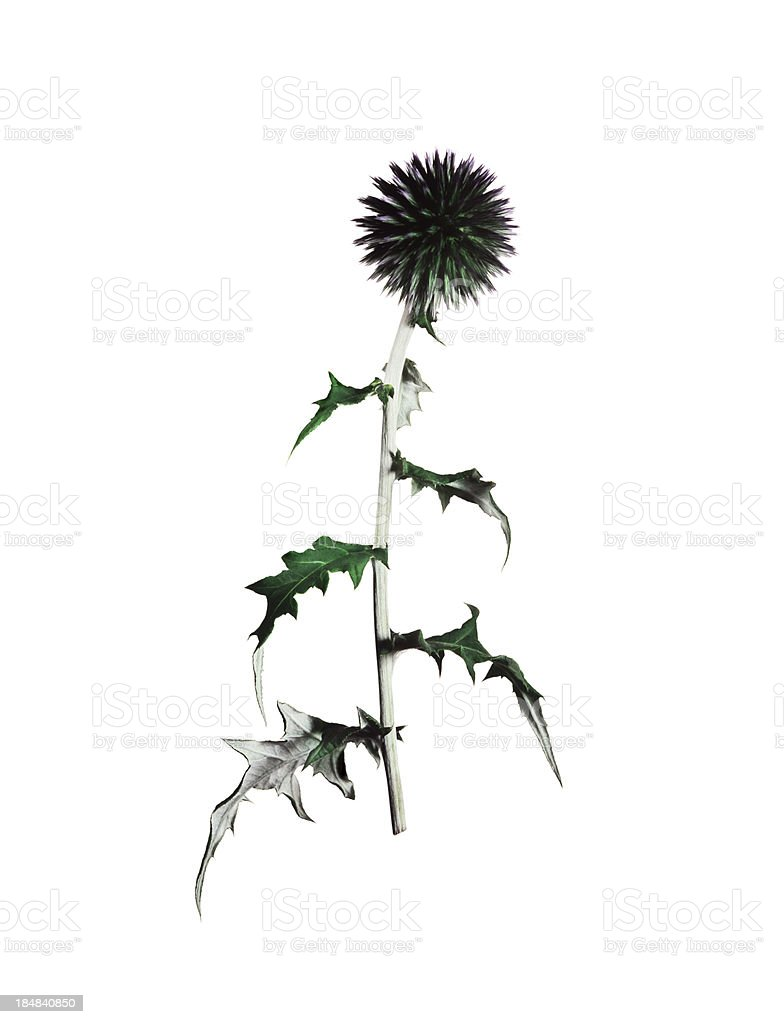 Globe Thistle flower isolated on white stock photo