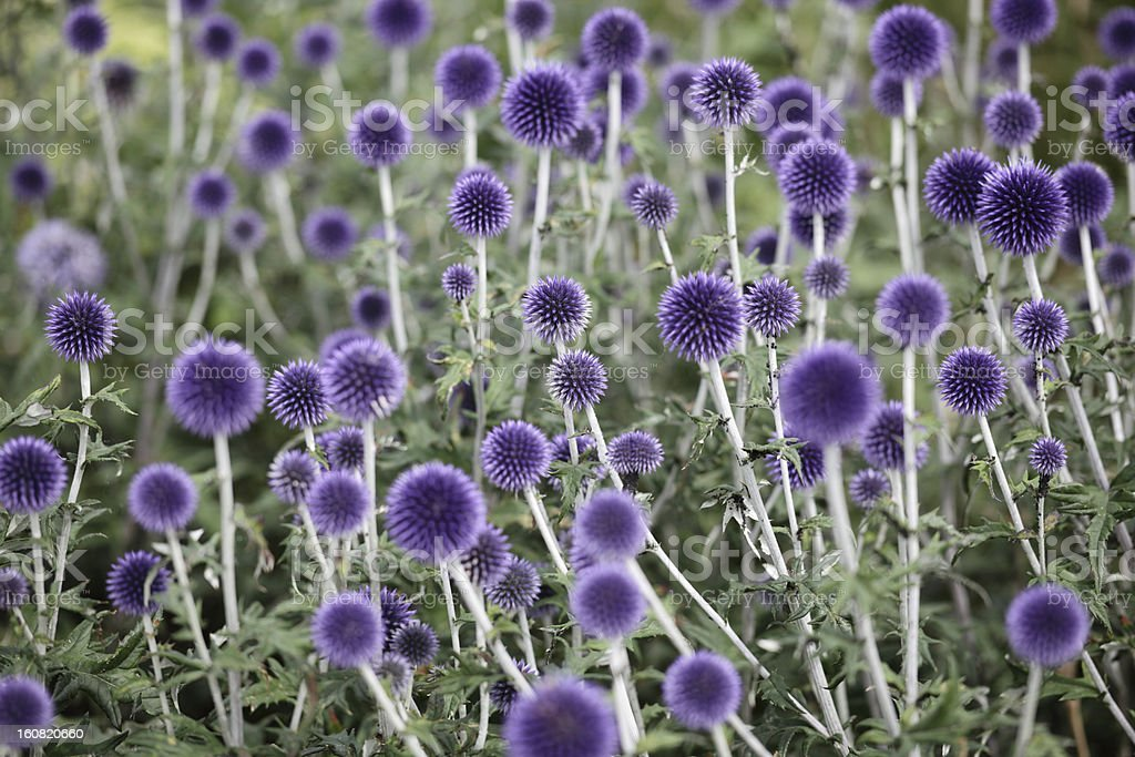 Globe Thistle flowers stock photo