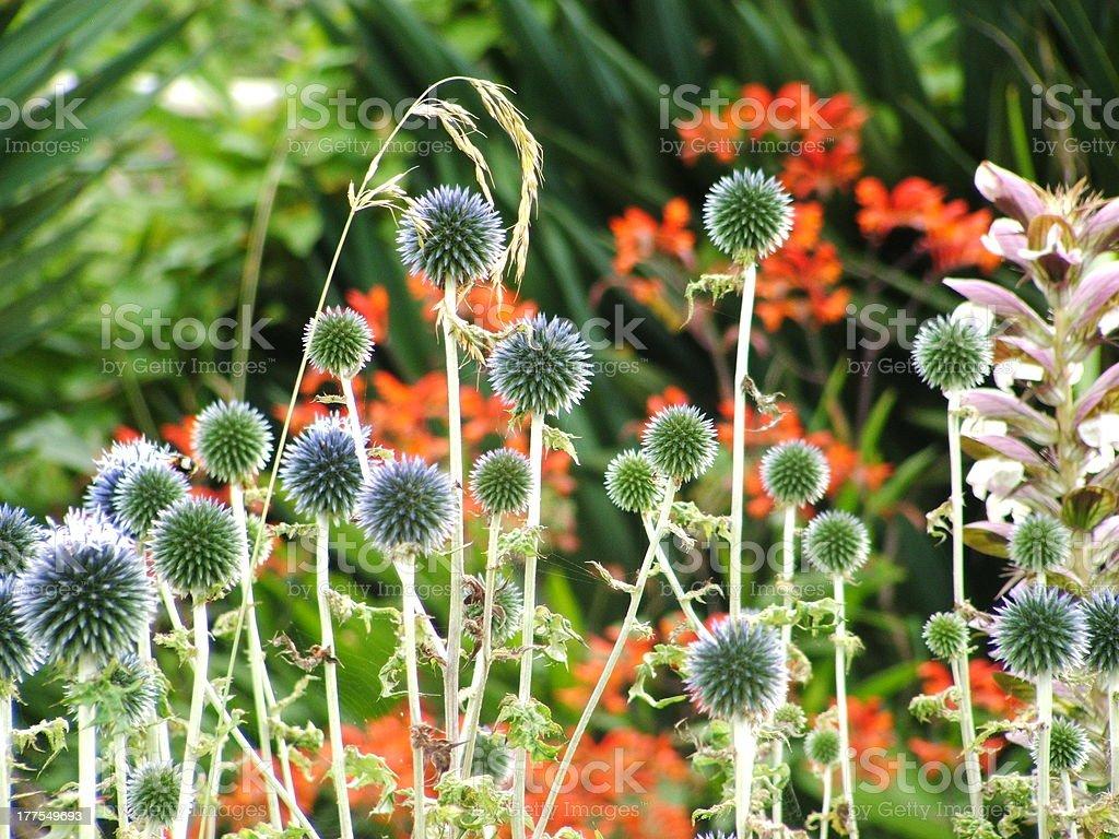 Globe Thistle in flower garden royalty-free stock photo