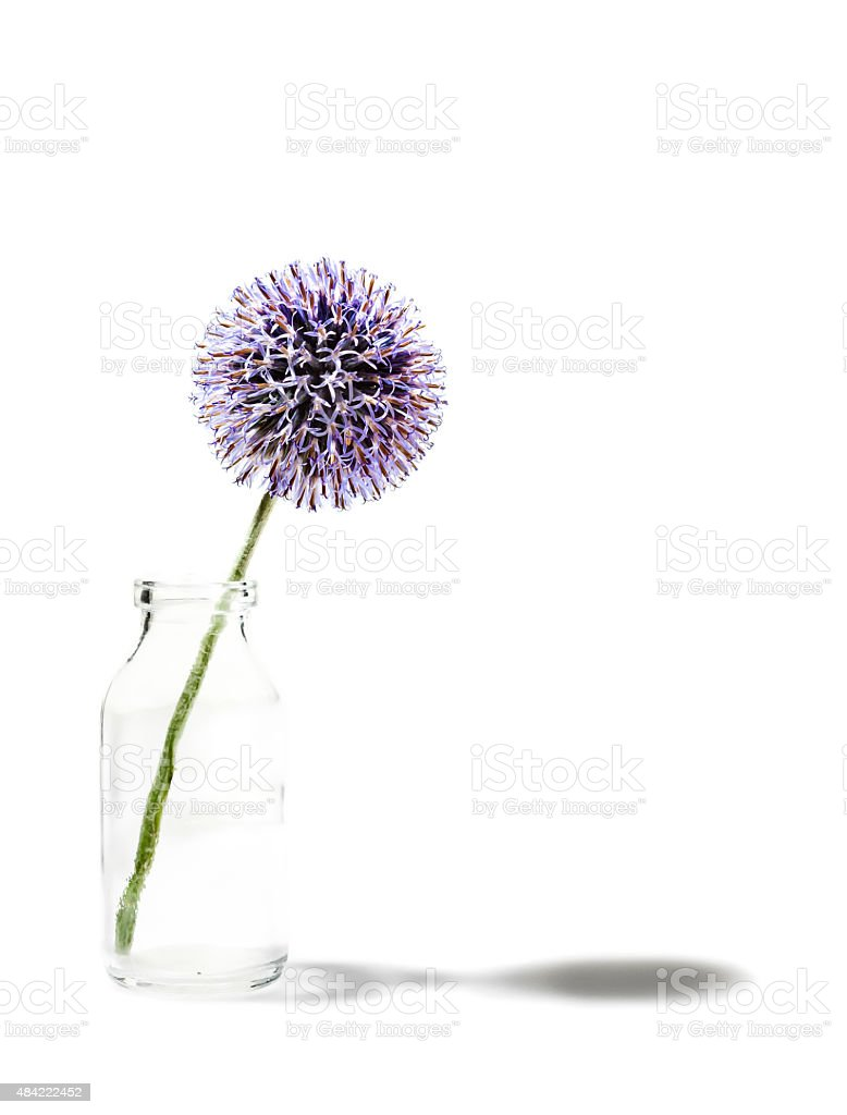 Globe thistle in milk bottle stock photo