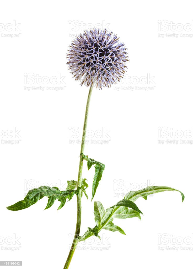 Globe Thistle isolated stock photo