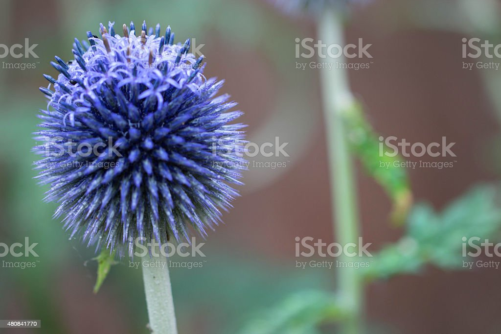 Globe thistle just coming into bloom stock photo